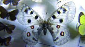 Butterfly110Apollon